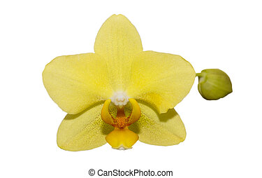 Orchid flower on a white background