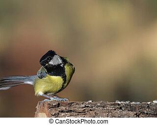 begging bird - Eine bettelnde Kohlmeise