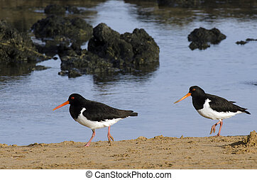 Pied Oystercatche - Two Pied Oystercatcher in Cable bay in...