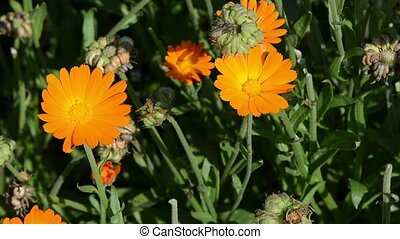marigold calendula bloom - orange marigold calendula herb...