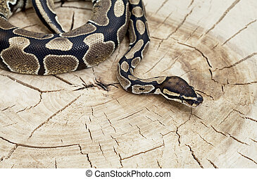 Royal Python snake on a stump - Royal Python snake on a old...