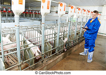 Veterinarian doctor examining pigs at a pig farm -...