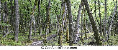Wild Patagonian Forest, El Chalten - Forest in El Chalten,...