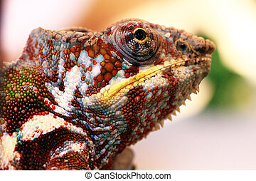 Panther chameleon, Furcifer pardalis - Portrait of panther...
