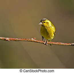 Siskin - Male Siskin perched on a branch.
