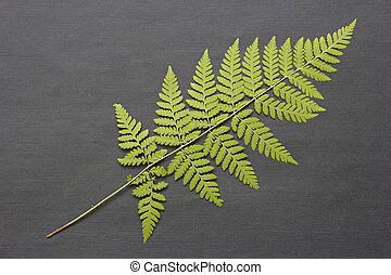 Fern on a dark bacground - The dried fern for a herbarium.