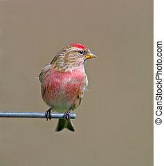 Redpoll - Male Redpoll