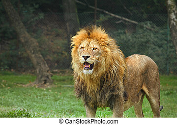 Lion in the zoo - Portrait of a lion standing on the grass...