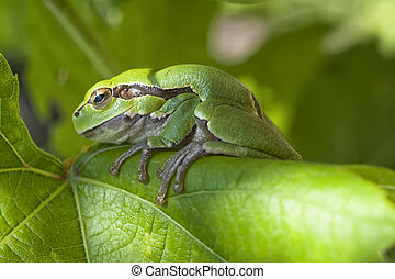 European Tree Frog or Hyla arborea sitting on a vine leaf