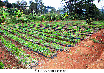 Large African coffee nursery - African arabica coffee...