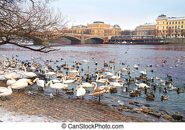 Birds on the embankment in Prague, Czech republic