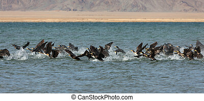 Great Cormorant Lake in northwestern Mongolia Large flock of...