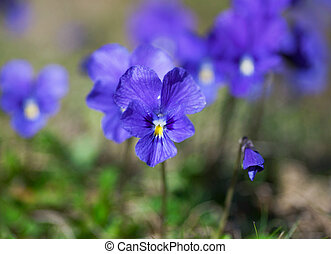 violet, violettes