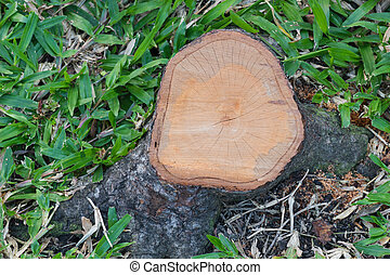 Top view of a Cut Tree Stump