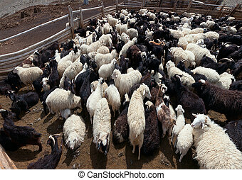 Goat and sheep grazing