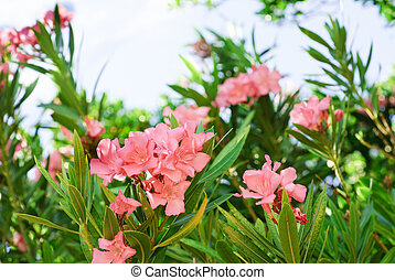 Pink oleander tree in blossom