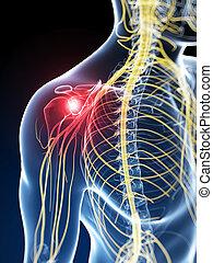 Highlighted skeletal shoulder - 3d rendered illustration of...