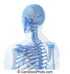Male skeleton - 3d rendered illustration of the male...