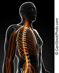 Highlighted male nerves - 3d rendered illustration of the...