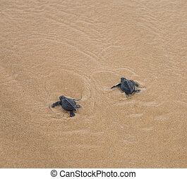 Baby turtles making its way to the ocean