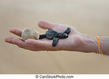 Loggerhead Turtle babyCaretta carretta and egg on hand