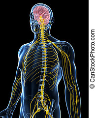 Male nerve system - 3d rendered illustration of the male...