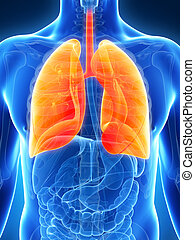 destacado, macho, pulmão