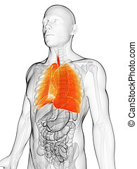 Highlighted male lung