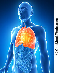 Highlighted male lung - 3d rendered illustration of a male...
