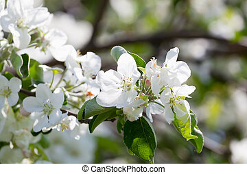 Blossoming branch of an apple-tree in a garden