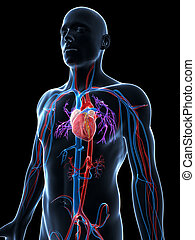 3d rendered illustration of the human vascular system