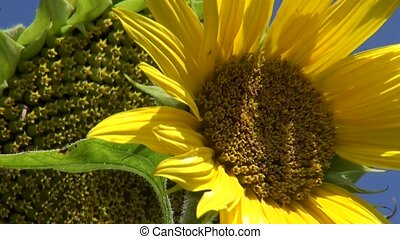 Sunflower in blue sky during summer. Zoom out of the plant.