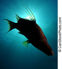 silhouette of hogfish swimming in ocean against sun