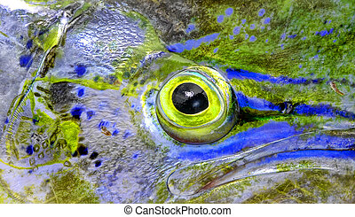 fish eye of mahi-mahi - close up of eye of mahi mahi or...
