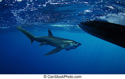 Bigeye Thresher shark swimming in the Gulfstream in the...