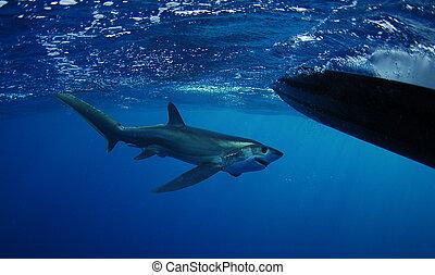 Bigeye, trilladora, tiburón, natación