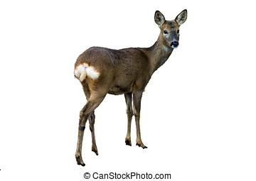 Roe Deer Isolated - Roe deer (female) standing profile...