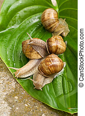 Snails on leaf - Four snails on a wet leaf