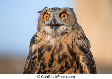 Eagle Owl - European eagle owl close up in Crimea mountains,...