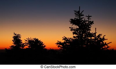 Fir trees in the sunset