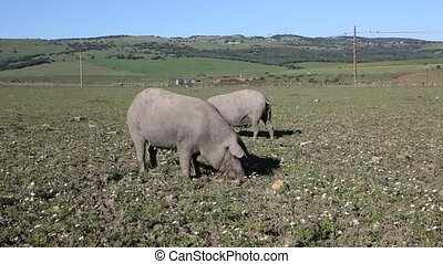 Iberian pigs in Andalusia, Spain