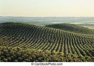 Olive grove landscape in Alentejo - Extensive olive grove in...