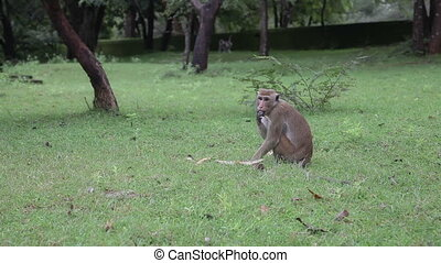 Monkey activity - Polonnaruwa , Sri Lanka