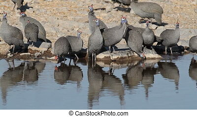 Helmeted guineafowls (Numida meleagris) drinking water,...