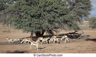 Grazing springbok - Springbok antelopes Antidorcas...