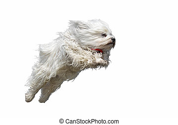 flying dog - Long haired white dog breed (Havanese) flies...