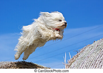 Dog flying through the air - A dog (Havanese) jumps from a...