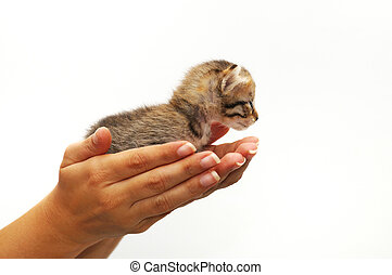 Hands cupping small kitten - isolated Hands cupping young...