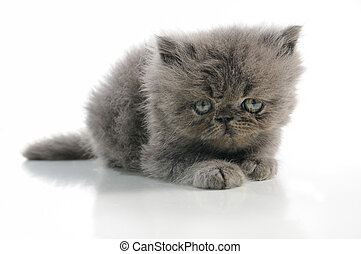 Persian kitten - Portrait of small persian cat isolated over...