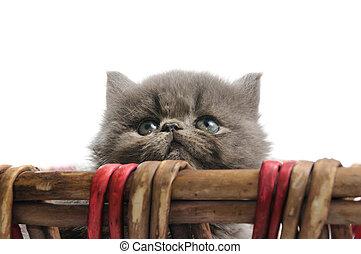 Little persian kitten - Portrait of sweet persian little cat...